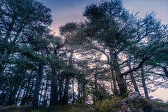 Alte Zedernwaldung im Libanon, wie in der Bibel gemerkt stockbilder