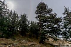 Alte Zedernwaldung im Libanon, wie in der Bibel gemerkt stockfoto