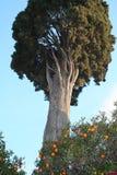 Alte Zypresse und Mandarinen Stockfotos