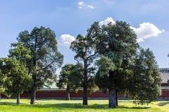 Alte Zypressebäume im Park Stockbild