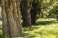 Alte Zypressebäume im Park Stockbilder
