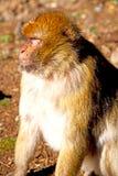 alter Affe in Afrika L Hintergrundfaunaabschluß Lizenzfreie Stockfotografie