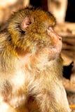 alter Affe in Afrika Marokko und im Abschluss des natürlichen Hintergrundes oben Stockbilder