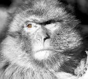 alter Affe in Afrika Marokko und im Faunaabschluß des natürlichen Hintergrundes Lizenzfreie Stockfotografie