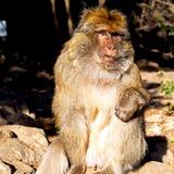 alter Affe in Afrika Marokko und im Faunaabschluß des natürlichen Hintergrundes Lizenzfreies Stockfoto