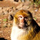 alter Affe in Afrika Marokko und im Faunaabschluß des natürlichen Hintergrundes Stockfotos