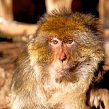 alter Affe in Afrika Marokko und im Faunaabschluß des natürlichen Hintergrundes Lizenzfreie Stockfotos