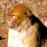 alter Affe in Afrika Marokko und im Faunaabschluß des natürlichen Hintergrundes Stockfotografie