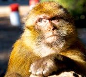 alter Affe in Afrika Marokko und im Faunaabschluß des natürlichen Hintergrundes Stockbilder