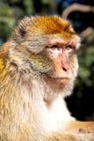 alter Affe in Afrika Marokko und im Hintergrundfaunaabschluß oben Lizenzfreies Stockfoto
