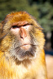 alter Affe in Afrika Marokko und natürliches Lizenzfreie Stockfotografie