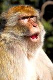 alter Affe in Afrika Marokko und natürliches Lizenzfreies Stockfoto