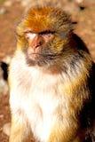alter Affe in Afrika und im natürlichen Abschluss oben Lizenzfreies Stockfoto