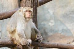 Alter Affe, der auf einem Baumast mit Steinhintergrund sitzt Lizenzfreies Stockbild