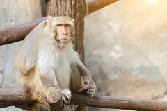 Alter Affe, der auf einem Baumast mit Steinwand- und Sonnenlichthintergrund sitzt Lizenzfreies Stockbild