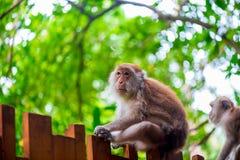 Alter Affe, der auf einem Bretterzaun sitzt Stockfotografie