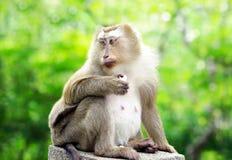 Alter Affe, der auf Zaun sitzt Lizenzfreie Stockfotos