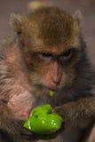 Alter Affe, der grüne Neoneiscreme isst Stockbilder