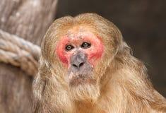 Alter Affe des roten Gesichtes im Zoo Stockbild