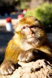 alter Affe in Fauna Afrikas Marokko Lizenzfreie Stockbilder