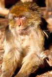 alter Affe herein und Fauna des natürlichen Hintergrundes Stockbild