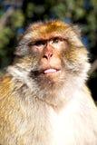 alter Affe im Faunaabschluß Afrikas Marokko oben Stockfoto