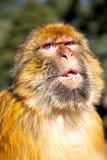 alter Affe im Faunaabschluß natürlichen Hintergrundes Afrikas oben Lizenzfreie Stockbilder