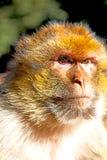alter Affe im Hintergrund-Faunaabschluß Afrikas Marokko oben Lizenzfreie Stockbilder