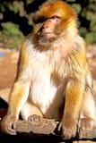 alter Affe im natürlichen Faunaabschluß Afrikas Marokko oben Stockfotos