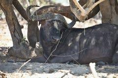 Alter afrikanischer Büffel, Syncerus-caffer, in Nationalpark Chobe, Botswana Stockfotografie