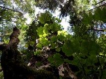 Alter Ahorn im Wald Stockbilder