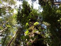 Alter Ahorn im Wald Stockbild
