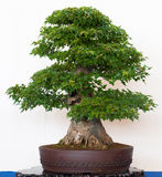 Alter Ahornholzbaum als Bonsais lizenzfreie stockbilder