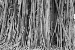 Alter alter Baum mit langen Wurzeln Lizenzfreie Stockbilder
