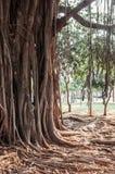 Alter alter Baum mit langen Wurzeln Lizenzfreie Stockfotos