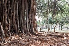 Alter alter Baum mit langen Wurzeln Stockfoto