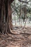 Alter alter Baum mit langen Wurzeln Lizenzfreies Stockfoto