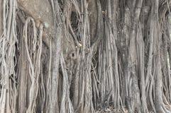 Alter alter Baum mit langen Wurzeln, die an der Spitze der Niederlassungen zu Boden beginnen Stockbild