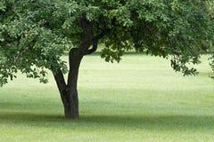 Alter Apfelbaum Stockbilder