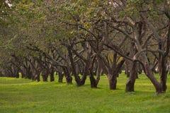 Alter Apfelbaum Lizenzfreie Stockfotos
