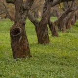 Alter Apfelbaum Lizenzfreie Stockbilder