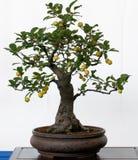 Alter Apfelbaum als Bonsais Stockfotos