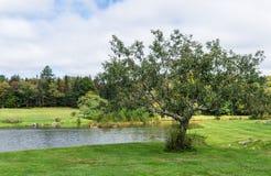 Alter Apfelbaum auf Teich Stockbild