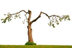 Alter Apfelbaum auf Weiß Stockbilder