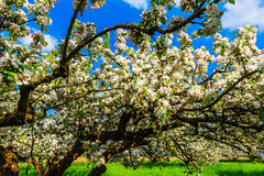 Alter Apfelbaum in der Blüte Lizenzfreie Stockbilder
