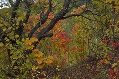 Alter Apfelbaum im Herbstwald Lizenzfreies Stockbild