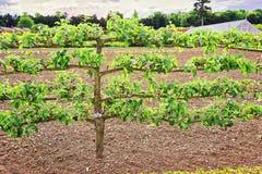 Alter Apfelbaum im organischen Gemüsegarten in Audley-Ende Stockbild
