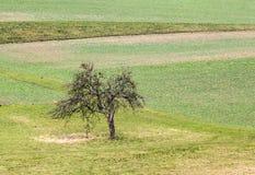 Alter Apfelbaum steht allein an der Wiese Lizenzfreie Stockbilder