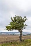 Alter Apfelbaum wächst auf einer Wiese Lizenzfreie Stockfotografie
