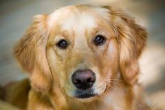 Alter Apportierhund-Welpe Stockfotografie